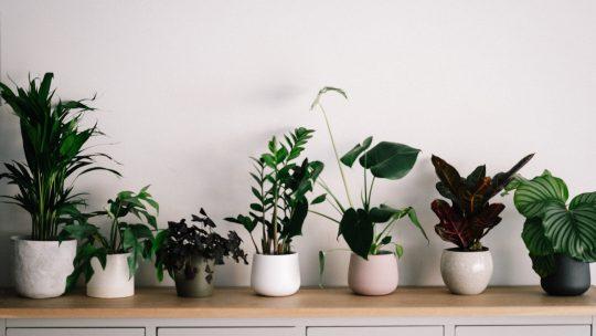 Hoe bestrijd je spint op kamerplanten